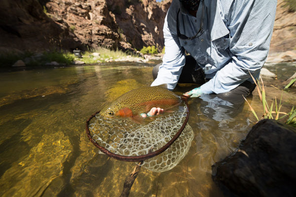 In the net - Fly Fishing the Gunnison Gorge